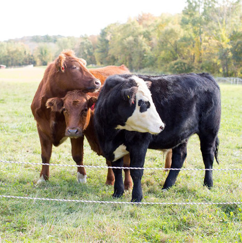 cows-woodstock-sustainable-farms