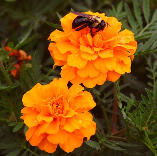 marigolds-3-sisters-planting-wss-farms