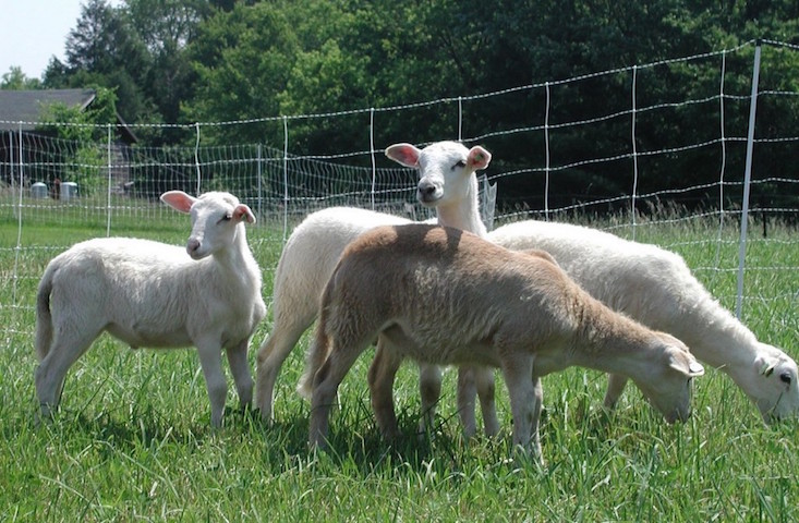 pasture-raised-lamb-3-wss-farms