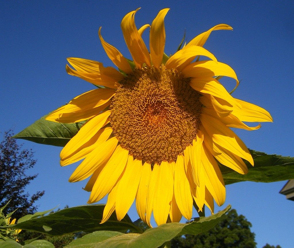 summertime-sunflower-wss-farms