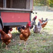 wss-farms farm fresh eggs dance